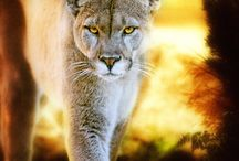 Lions / by MAngelesQuijada_MAQ