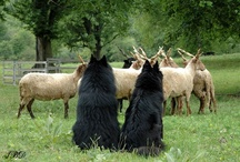 Herding: sheep, dogs, etc / by K-9DOG.RU
