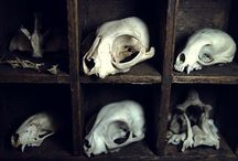 skulls and oddities / bones, skulls, antlers, taxidermy, anatomical specimens