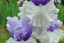 Iris oh Iris!