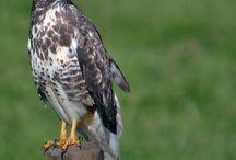 Roofvogels in nederland / Gespotte roofvogels op vakantie in Friesland of op weg daar naar toe.