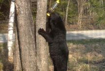 Black Bears in NH / Bears that we see in New Hampshire