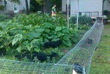 Galinhas de quintal