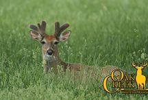 2018 Oak Creek Whitetail Deer