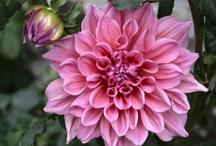 Pink Flower Garden