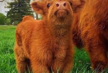 Cows and cuteness