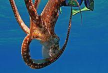 Octopus Encounters