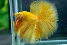 peixes betas