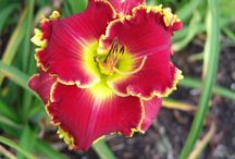 Daylily Seedling and Seed Crosses / by Kathy Green