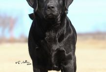 Labrador Retrievers <3