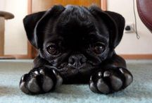 Black puggies! / My daughter has a black puggy, named Zoey, who we absolutely adore! I don't think you can appreciate how amazing a pug is until you have one. They are the most loving and loyal little doggy!  / by Carol Friese
