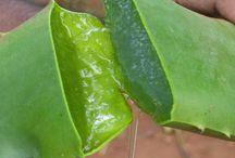 Proprietà curative dell'Aloe / Articoli relativi a tutte le proprietà benefiche dell'Aloe Vera.