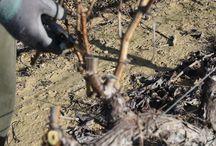Tiempo de poda / Las vides deben seguir un ciclo para que, año tras año, se consigan la mejor calidad en los vinos que se obtengan de ellas. Se trata de una labor fundamental, pues de ella depende la futura producción. Su objetivo es conseguir reducir el número y la longitud de la planta para que la vid produzca menos racimos, pero de más grosor y más calidad. La poda alarga la vida de la vid y asegura la cosecha de un año para otro.