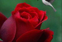 A  rózsám