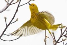 Birds of New York / Bird species I see in the yard and around the neighborhood. / by Shinrin Art