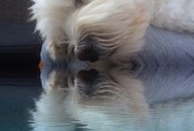Izzy de maltezer / Liefste hondje