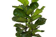 rumsväxter