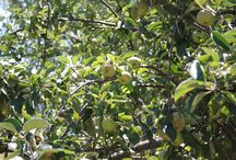 Podere Lecceta: Prodotti Bio-Produits Bio-Organic Products / Frutta e Olio biologici prodotti da me! Fruit et huile bio produit chez nous! Organic fruits and olive oil we produce!