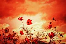 コスモスと朝焼け。 cosmos and morning grow #cosmos #flowers #morninggrow #sky #コスモス #朝焼け #空 #おはようというよりはおやすみなさい写真