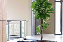 Großbäume / Wir von Gedike Begrünungen realsieren für Sie den Einsatz von Großpflanzen in umbauten Räumen. Diese können zur Visitenkarte Ihres Unternehmens werden und vermitteln einen kaum gekannten Effekt.