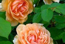 ROSES - ORANGE COLOUR
