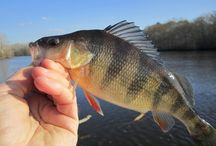 YELLOW PERCH / A few photos of yellow perch on the fly.  Fly fishing for yellow perch.