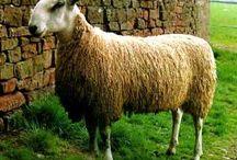 Schafe, sheep, tierische Wolllieferanten / Schafrassen aus aller Welt. Alle Tiere, die Wolle zum Spinnen und Filzen liefern