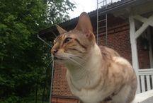 Bengal cat Lumi / Our bengal cat Lumi is of course amazing.