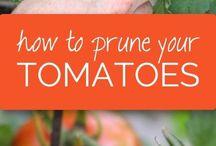 tomatoes+