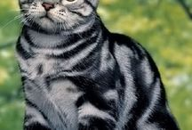 American shorthair cat (my favourite breed of cats) ♡♡♡
