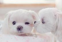 maltezer puppy's