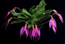 Orchids - Masdevallias