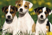 For my Jack Russells