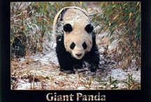 Panda Bear Wall Decor Art Print Posters