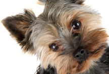 Yorkie Info Board / Yorkie Information to teach everyone more about Yorkies.