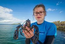Big Release-July: public sponsored V notched hens / 14 female lobsters, spent of eggs after creating larvae at the hatchery, were sponsored by the public and released back into The Firth of Forth after being V notched to prevent them being caught until the V moults out so they can continue to breed.