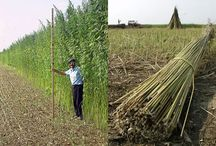 Hemp  / Industrial hemp means those parts of the Cannabis sativa plant which contain less than 1% of tetrahydrocannabinols (THC).THC is the psychoactive chemical found in Cannabis sativa. Industrial hemp has no psychoactive properties and can be grown as a profitable, high-quality fiber crop and it is a promising dedicated energy crop since its rapid growth and fiber characteristics allow an efficient use for pulp and energy. / by Bioenergy Crops