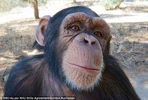 Gorilla, Chimps and Orang u Tangs
