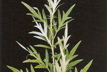 plantas medicinais.