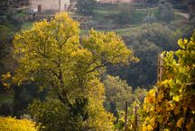 Vineyards and Olive Groves / The beauty of olive trees and grapevines.