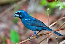 Pássaros Brasil