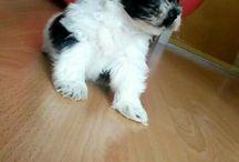 "Bichon Havanese ""Zaki"" / my dog"