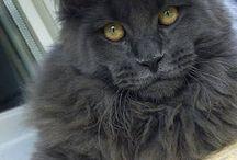 Cats / Main coon / Noorse boskat