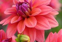 Yıldız çiçekleri