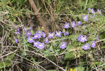 NATUREMAR (Tropaeolaceae) / Tropaeolum (ca 88 spp., Central America to Patagonia) is represented in Chile by 18 species and one widespread natural hybrid.