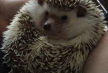 Hedgehog / witbuikegel / Lieve egels