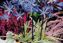 AGAPANTHUS: The flower of Love.