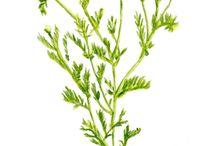 Hierbas y Plantas #IdeaNutritiva / Propiedades y nutrientes de hierbas aromáticas, medicinales y más. / by Conoce Hidroponía