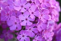 Flora Flora