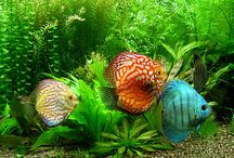 Discus and Angelfish  / Discus and Angelfish--the gentle chichlids